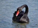Black swan. A native to Australia they are the state bird of Western Australia. They were brought to the UK as ornamental birds like peacocks and golden pheasants. Like many other captive birds, they occasionally find their way out into the wild. They are similar in size to the closely related mute swan. They appear all black when swimming but they have white primary wing feathers, which can be seen in flight. The bill is red with a broad white band on the tip.