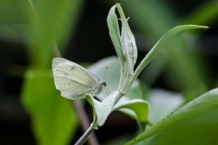 Cabbage White Butterfly_20190831_29628