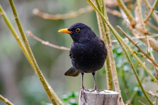 Adult male Blackbirds ARE black however females are brown often with spots and streaks on their breasts. The bright orange-yellow beak and eye-ring make adult male blackbirds one of the most striking garden birds. https://www.rspb.org.uk/birds-and-wildlife/wildlife-guides/bird-a-z/blackbird/