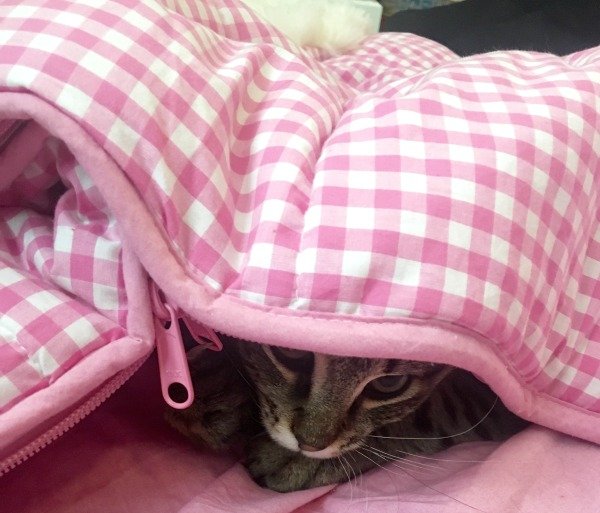adopt-2-cats-hide-and-seek
