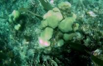 Belize Barrier Reef: Faviidae (Hirnkorallen) aus der Familie der Steinkorallen
