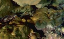Belize Barrier Reef: Lobster gut getarnt in den Korallenbänken