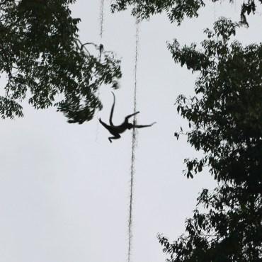 Guatemala, Tikal: Diese Affen-Akrobatik bekommt man nur sehr selten zu Gesicht