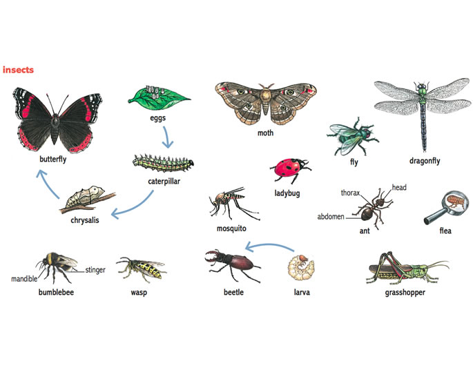 Insect Noun Definition Pictures Pronunciation And