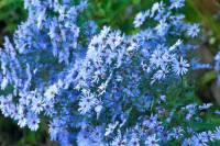 Top Plants for the Autumn Flower Garden - Oxonian Gardener