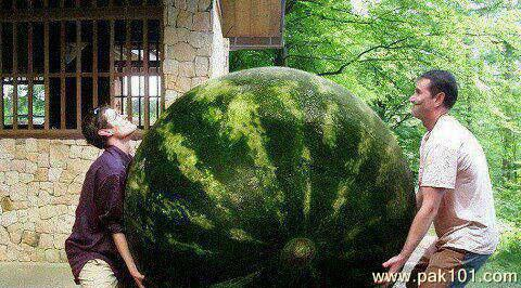 Signs And Quotes Wallpapers Funny Picture World Largest Watermelon Pak101 Com