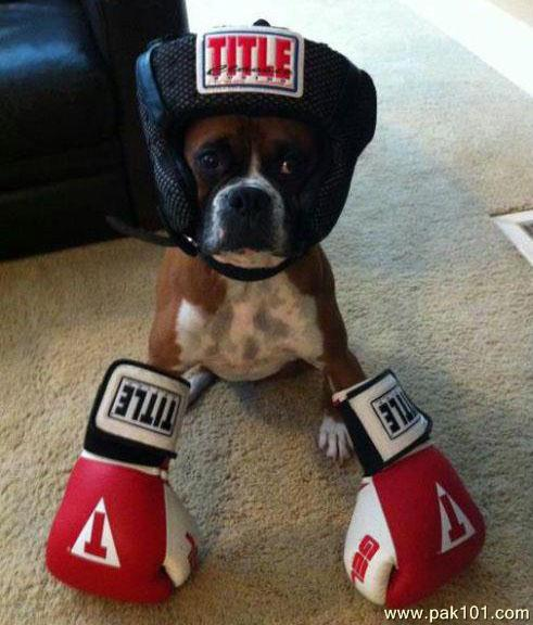 Signs And Quotes Wallpapers Funny Picture Funny Boxer Dog Pak101 Com