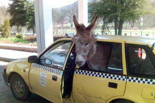 Signs And Quotes Wallpapers Funny Picture Funny Donkey In Car Pak101 Com