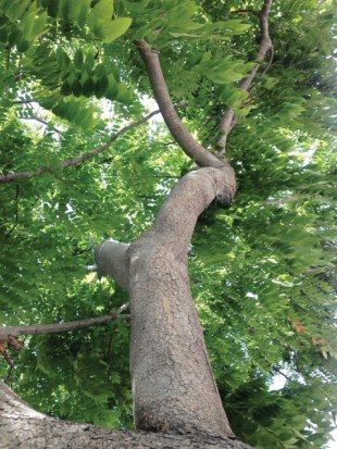 This is one of the ficus trees that will be replaced.