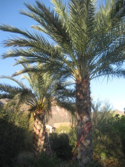 Small Of Medjool Date Palm