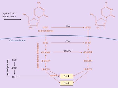 Breakdown of Gemcitabine in the Body