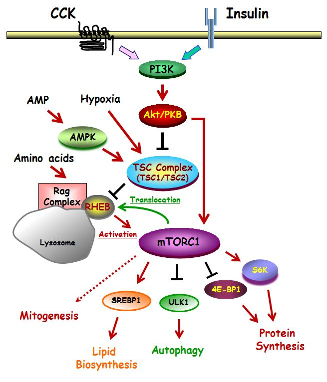 The mTOR Signaling Pathway and Regulation of Pancreatic Function