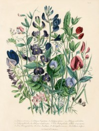 Antique Botanical Drawings