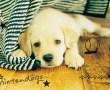 Papel de Parede Cachorro branco observando