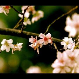 Papel de parede 'Flor de Cerejeira'