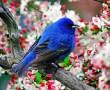 Papel de Parede Pássaro azul na cerejeira