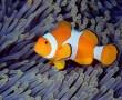 Papel de Parede Peixe Palhaço