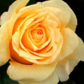 Papel de parede 'Rosa – Amarela'
