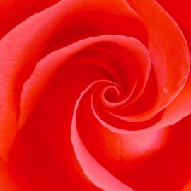 Papel de parede 'Rosa'