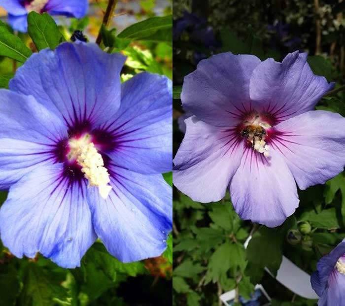 Blue Flowering Shrubs Buy Online To Grow in the UK