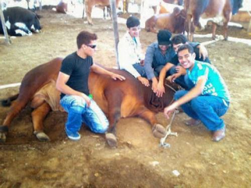 Superb Friendly Bull for Qurbani 2013 on Bakra Eid-747036