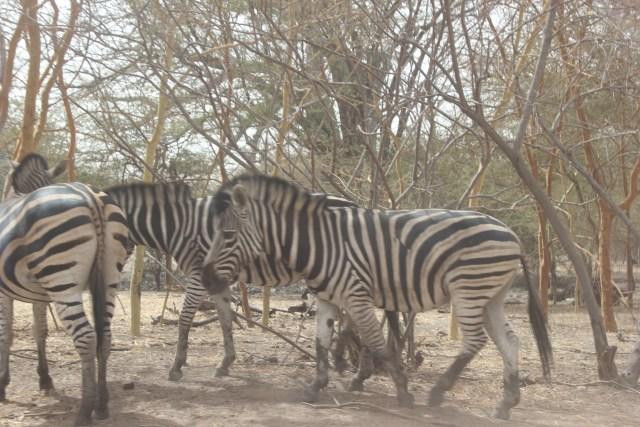 zebres bandia