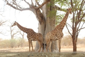 girafes bandia senegal