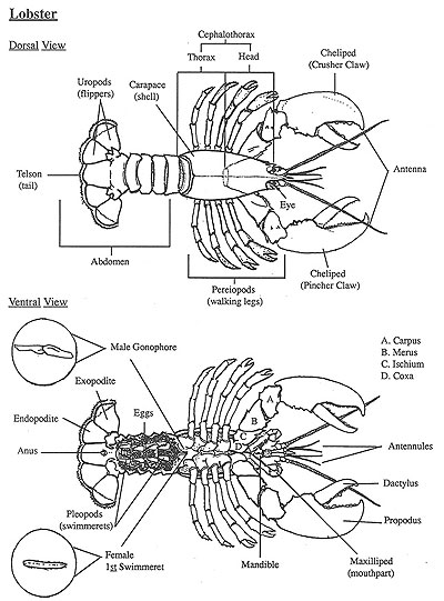 diagram courtesy of department of marine resources state of maine