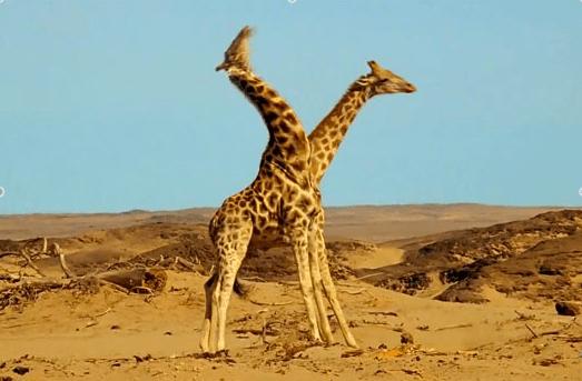 Les grandes girafes sont muettes mais les petites girafes sont rares