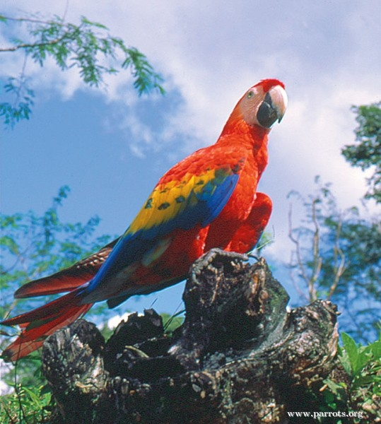 A To Z 3d Name Wallpaper Scarlet Macaw World Parrot Trust