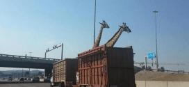 Des girafes transportées dans un camion.