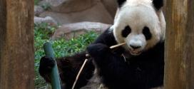 Chine : un panda simulait sa maternité pour profiter d'attentions particulières
