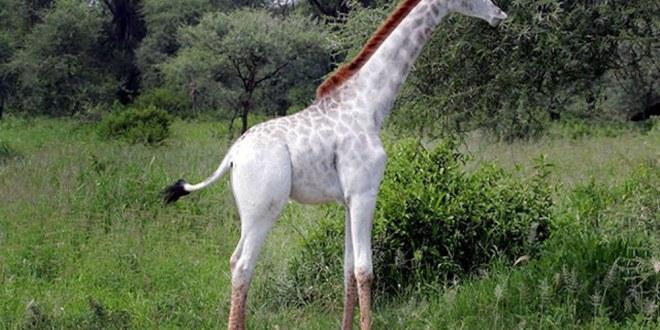Omo, une girafe blanche rarissime et somptueuse