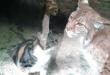 Un chat tombe dans la cage du lynx au zoo… la suite est incroyable!