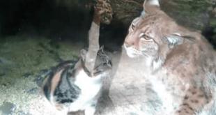 Un chat tombe dans la cage du lynx au zoo... la suite est incroyable !