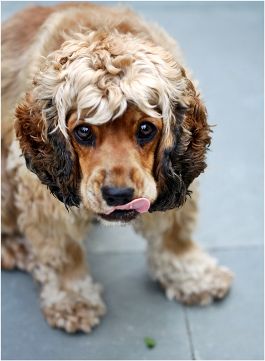 Coco, the cocker spaniel