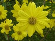 Sunflower perennial
