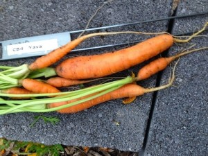 Yaya carrots had the widest size range. All the seed was sown at the same time.