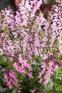 salvia_color_spires_pink_may_night
