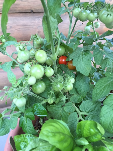 Cherry tomatoes nonstop until frost