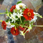 zinnia and nicotimia