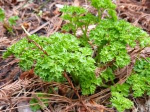reseeded parsley
