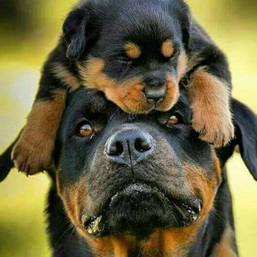 Cute Rottweiler Puppy Wallpaper 12 Realities New Rottweiler Owners Must Accept