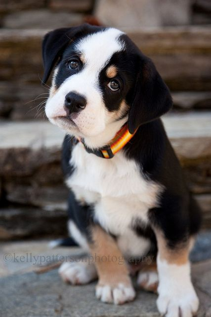 Cute Boston Terrier Wallpaper 15 Unreal English Bulldog Cross Breeds You Ve Got To See
