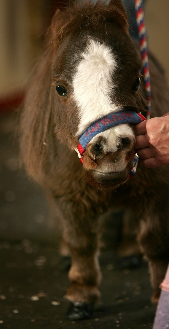 Cute Child Love Wallpaper Thumbelina Is The Smallest Horse In The World