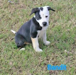 Adopted! Bandit