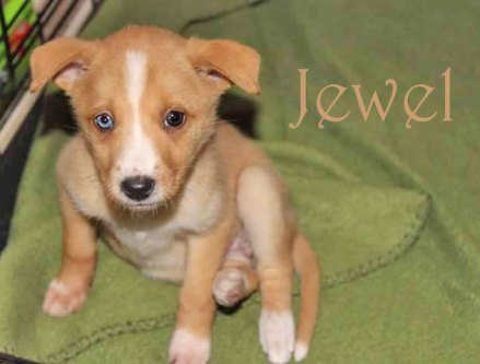 ADOPTED!!! Jewel and 5 siblings were saved from ACS. They came to us, tiny, infested with worms, and very shy towards people. They have now had 2 rounds of deworming and their first set of shots! They are due for their 9 weeks shot on December 4th and will be available after that. We will require a spay / neuter contract upon adoption. Jewel is a sweet and loveable little girl. She absolutely loves being held. And is very playful! Her adoption fee is 100.00