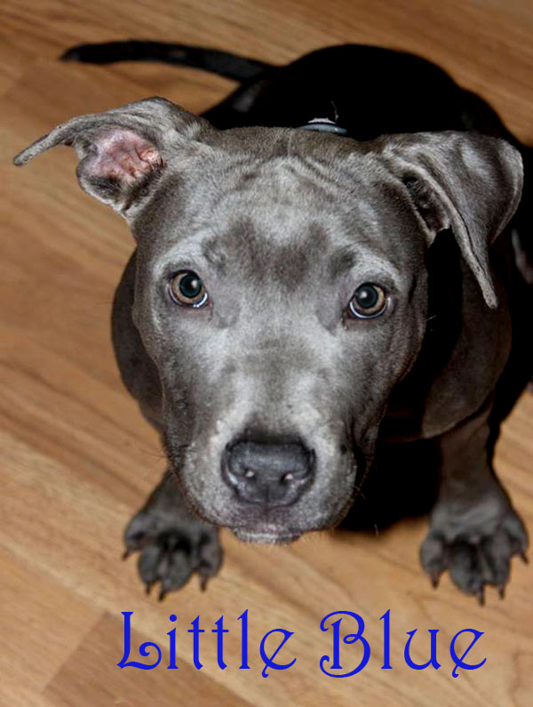 ADOPTED!! Meet Little blue - aka lil blue. She and her sister were on the put to sleep list at Aiken Shelter. Saved 11-13-15. She is 4-6 months old. A beautiful calm little sweetheart. She is UTD on shots, and scheduled to be spayed within a week. She is available for adoption. She is a blue nose pit mix. Her adoption fee is 100.00