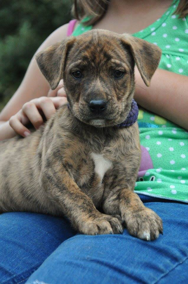 ADOPTED!! Meet Aurora!   This puppy was a pull of 8 from Aiken County Shelter, along with their mother (Sophie). They have been in foster with constant care and interatction since 2 days old. They are being fully vetted. Deworming every 2 weeks, and shots at required ages. After their second shot, they will be available for adoption. - Adopted!!!