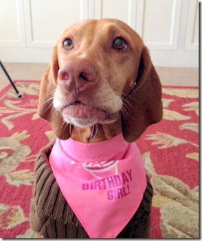 birthday vizsla
